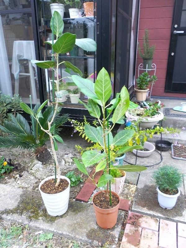 今年の厳寒は植物に酷ですね