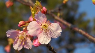 九十九里の桜