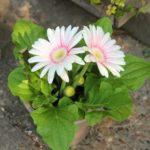 ガーベラの花がクタッとしたら・・・