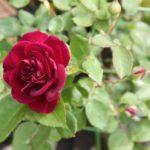 5月のバラが咲いた