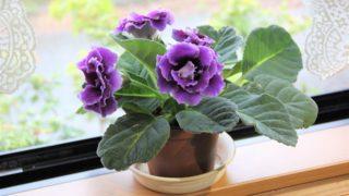 夏に咲く花 グロキシニア