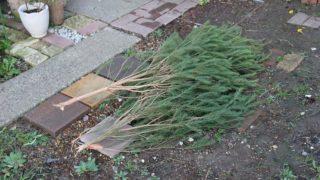 秋の台風被害、ティーツリーが折れました