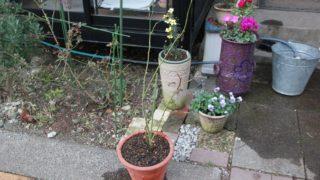 西に黄色のバラを植えました